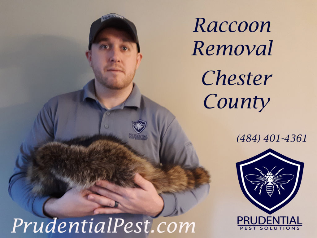 Raccoon Removal Chester County