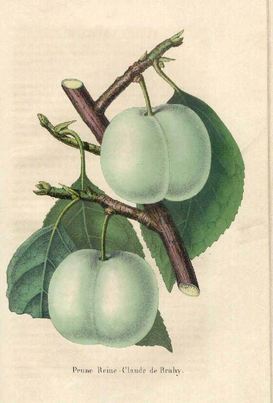 Reine-claude, la prune