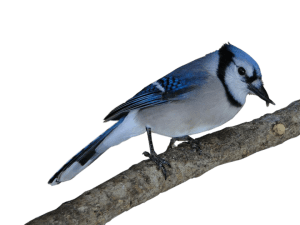 Bluejay with crossed beak branch
