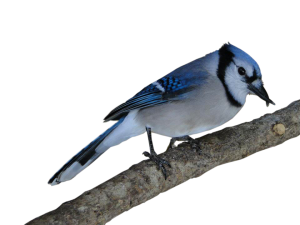 Bluejay with crossed beak branch