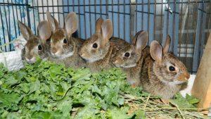 Baby bunnies in rehab