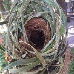 I Found a Squirrel Eastern Grey Squirrel Nest