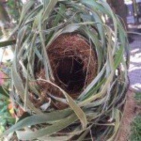 Eastern Grey Squirrel Nest