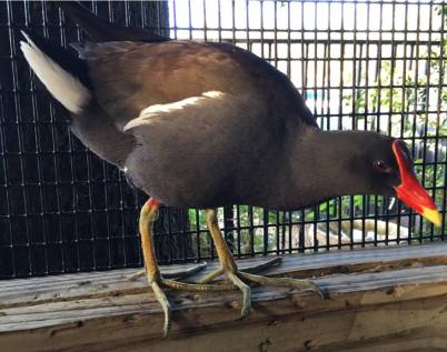 Maurice the Common Gallinule