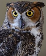 Symbolic Adoptions Bella the Great Horned Owl