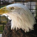 Symbolic Adoptions Bilfred the American Bald Eagle
