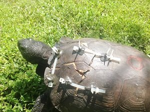A gopher tortoise shell repair after hit by a car