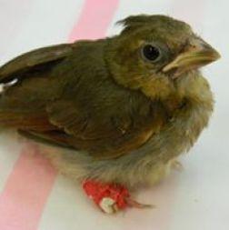 I Found a Baby Bird Cardinal