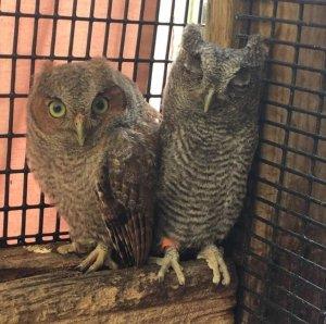 Lawn ornament or Eastern Screech Owl?