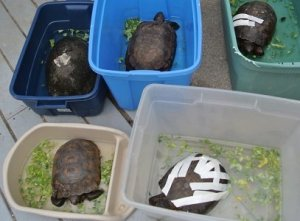 Gopher tortoise patients enjoying some outdoor time in the sun while in rehab