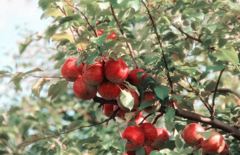 u-pick яблокиб, Манитоба, Канада