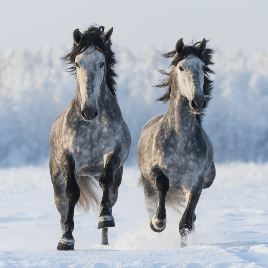 horses-pair-of-horses-running-with-winter-background-and-snow