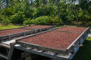 cocoa-drying-on-large-trays-outside
