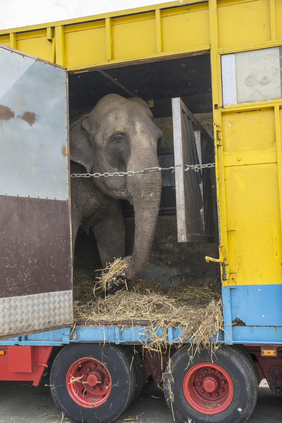circus-elephants-elephant-in-trailer