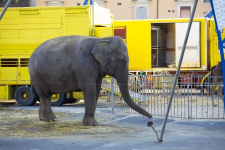 circus-elephants-elephant-working-in-circus