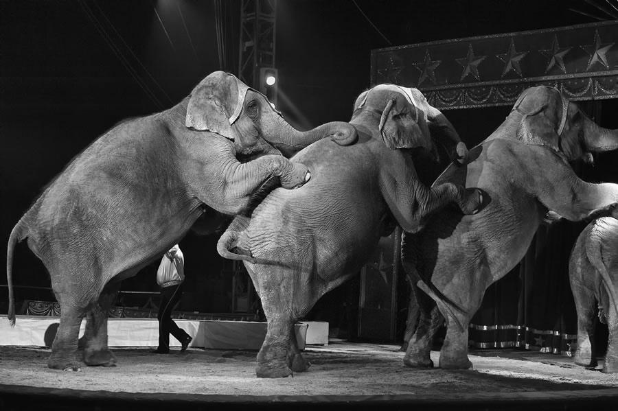 circus-elephants-elephants-performing