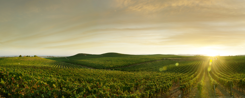 Girlfriend Getaway - panoramic view of grape plantation of Napa valley in summer time