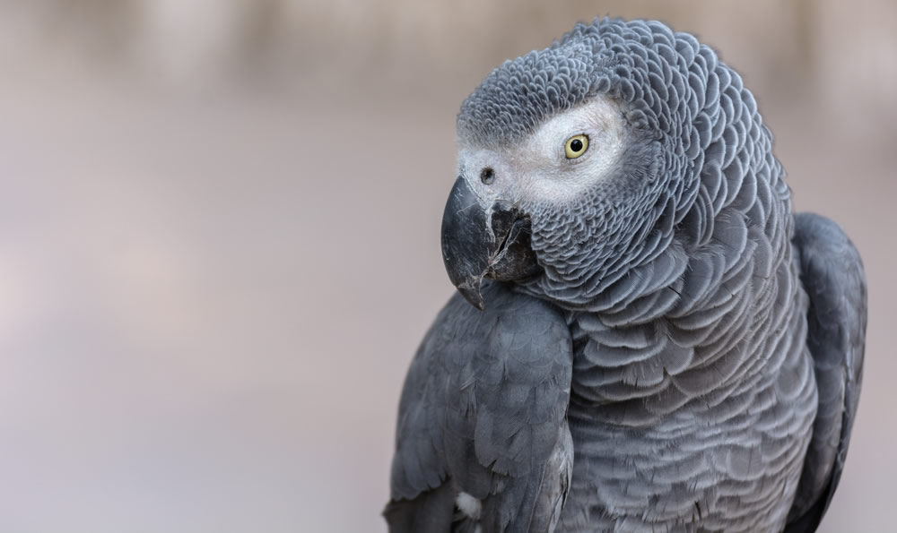 African Grey - african-grey-head-profile-detail