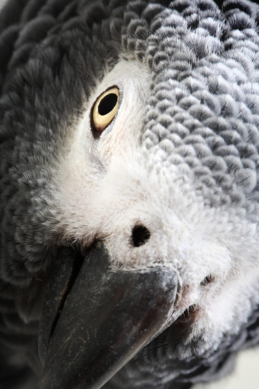 African Grey - african-grey-head-profile-detail-closeup