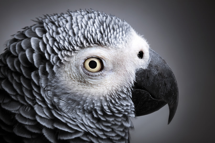 African Grey - african-grey-head-profile-detail-color