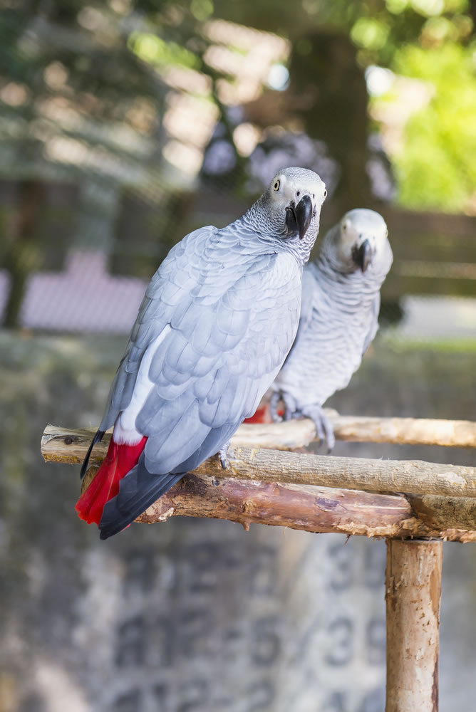 African Greys - african-grey-parrots-on-branch