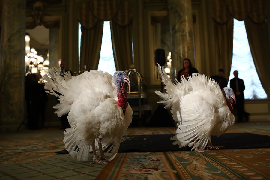 News - presidential-turkeys