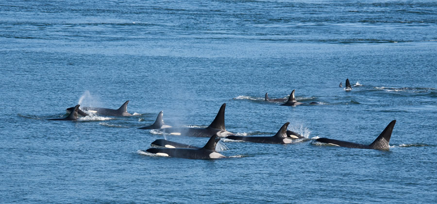 Orcas and Dophins - group-of-orca