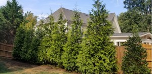 Residential Privacy Screening with Nellie Stevens Holly and Leyland Cypress Evergreens