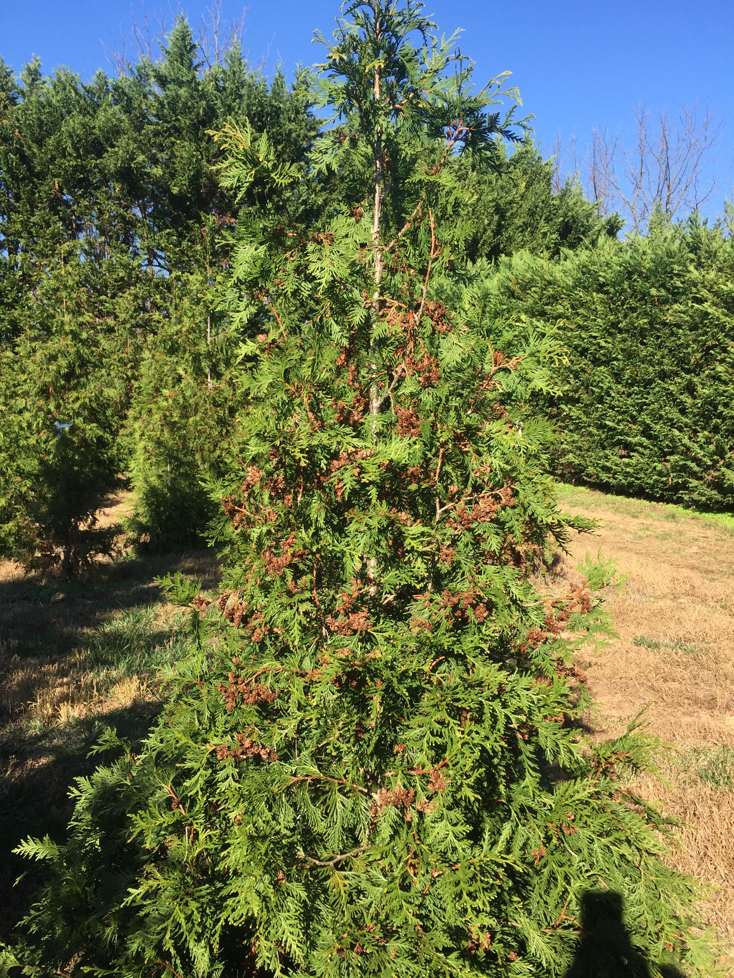 Green Giant Arborvitae cone clusters