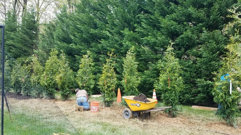 Green Giant Arborvitae Living Fence
