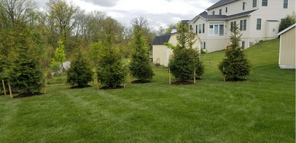 Green Giant Evergreen Living Fence Installation