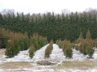 A light dusting of snow at Pryor's Nursery evergreen tree farm.