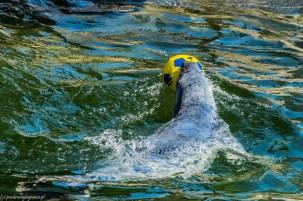 półwysep helski - foka z piłką fokarium hel