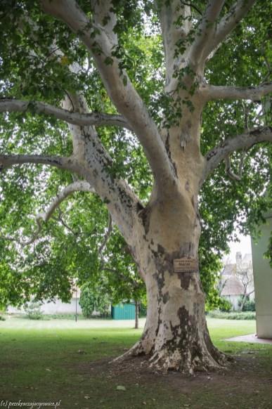 Sremski Kralovci drzewo