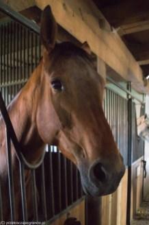 warmia - galiny stadnina koni koń