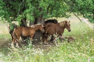 zwierzęta konie natura drzewo