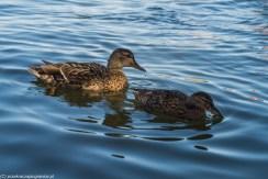 zwierzęta ptaki kaczki natura jezioro wigry