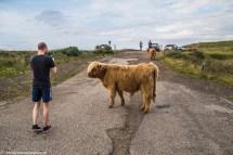 Uwaga na drodze krowy - północ North Coast 500