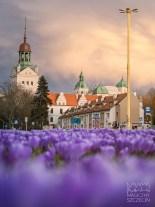Szczecin, Krokusy - Zamek Książąt Pomorskich #szczecińskiekrokusy