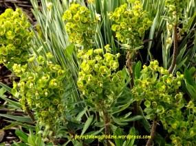 Euphorbia Characias - Wilczomlecz