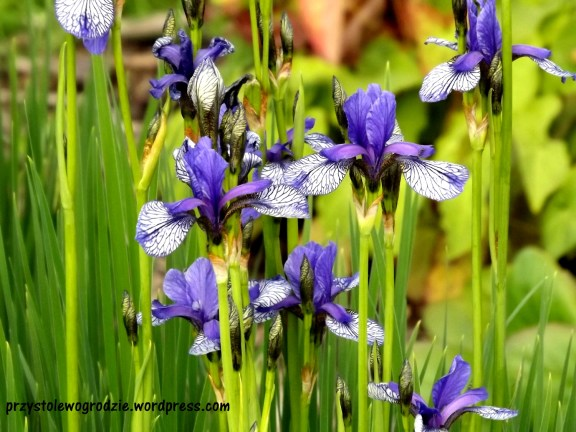 Irys /Iris aphylla/