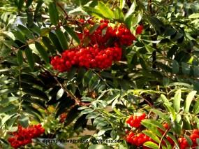 Jarzębina /Sorbus aucuparia/