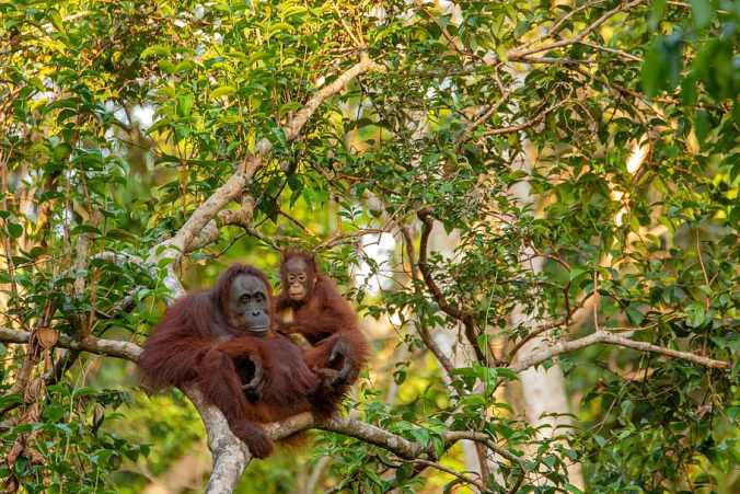 two orangutans sitting in a tree