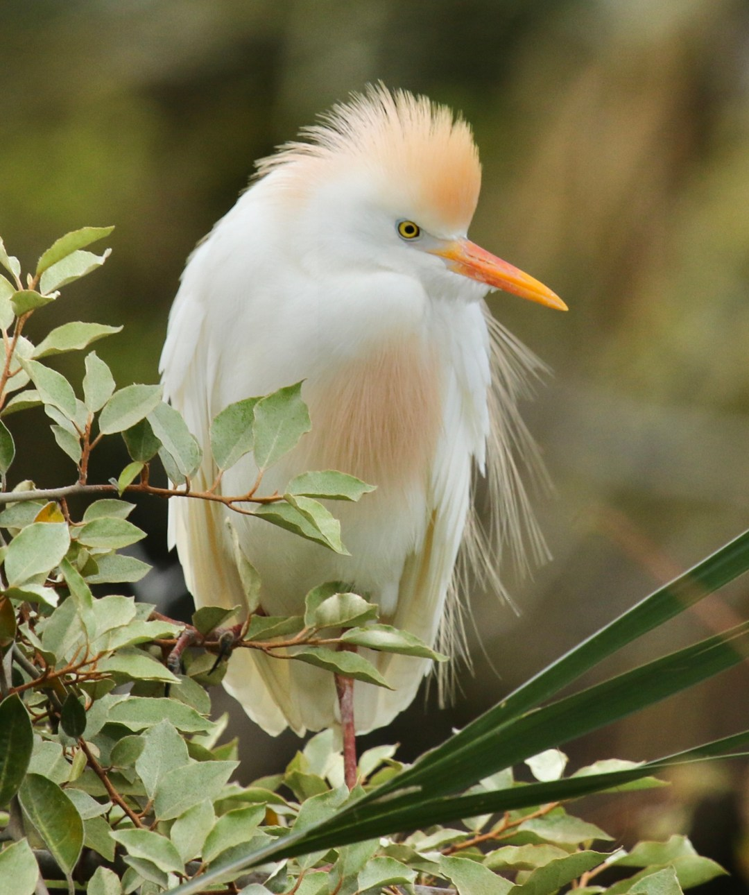 Cattle Egret Side View