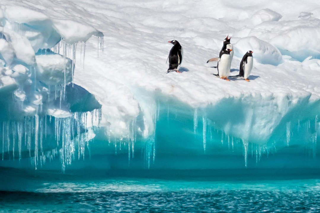 Penguins And Icicles