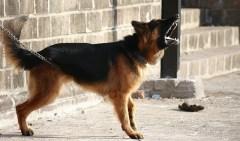 pies szczeka