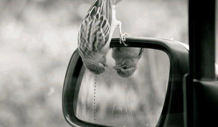 auto-observação, passarinha se olhando no espelho