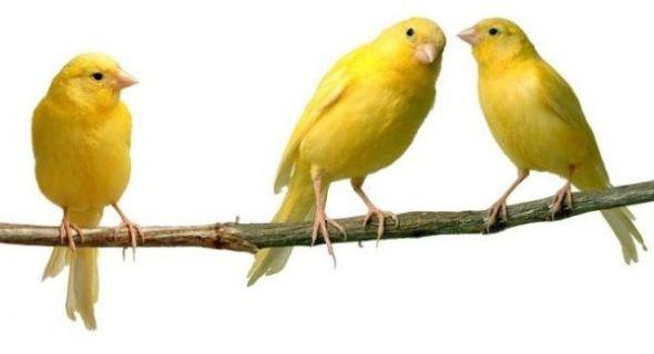 canto canario en casa