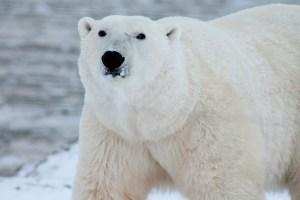 Fenómeno Oso Polar - Efecto psicológico Oso Blanco