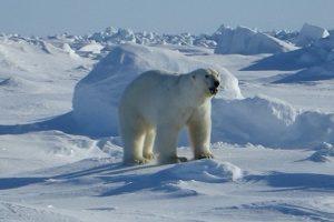 No pienses en este oso polar.